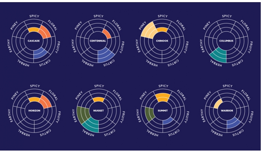 Популярные сорта хмеля и их ароматика. Инфографика.